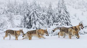 La familia de lobos árticos y yo. Capítulo 1º