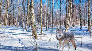La familia de lobos árticos y yo: Capítulo 2