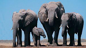 África extraordinaria: Nazinga, la tierra de los elefantes