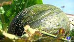 Aquí la tierra - Cómo saber si un melón está rico