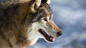 Lobos errantes, 1ª parte