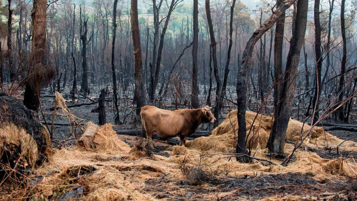 Los animales y los pastos, afectados por los incendios en Galicia