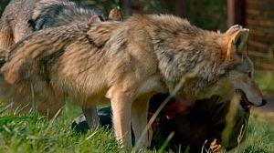 Lobos errantes, 2ª parte
