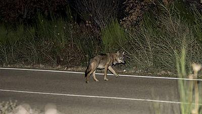 Unas fotos de lobos cruzando una carretera se vuelven virales en las redes sociales