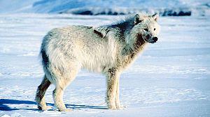 Loba blanca: La loba blanca de la manada de Hayden