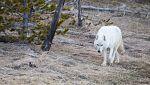 Grandes documentales - Loba blanca: La loba blanca de la manada del Gran Cañón