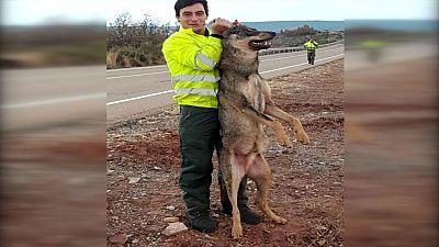 La Guardia Civil investiga la fotografía de un trabajador público de Palencia con un lobo atropellado