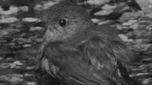 El petirrojo, pájaro territorial