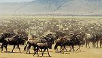 Grandes documentales - La migración de los ñus