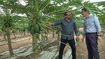 Aquí la tierra - Papayo, el árbol de la salud