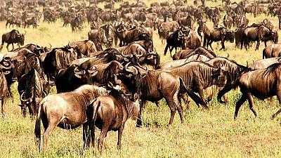 Grandes documentales - La mayor migracion animal del mundo - ver ahora