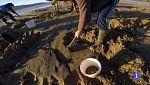 En las playas coruñesas de Outes los vecinos cavan para capturar un pez escurridizo