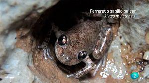 El ferreret, uno de los anfibios más pequeños del mundo