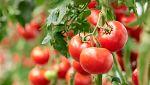 Otros documentales - Comida al descubierto: Tomates prebióticos y gelatina