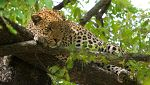 Grandes documentales - El guepardo, el precio de la velocidad