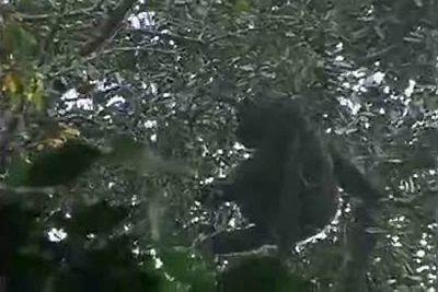 El gran gorila Cross River, el más raro del mundo y el más huidizo de las cámaras, ha sido finalmente captado en vídeo en los bosques de las montañas de Camerún, según ha informado la Sociedad para la Conservación de la Vida Salvaje (WCS) que contó c