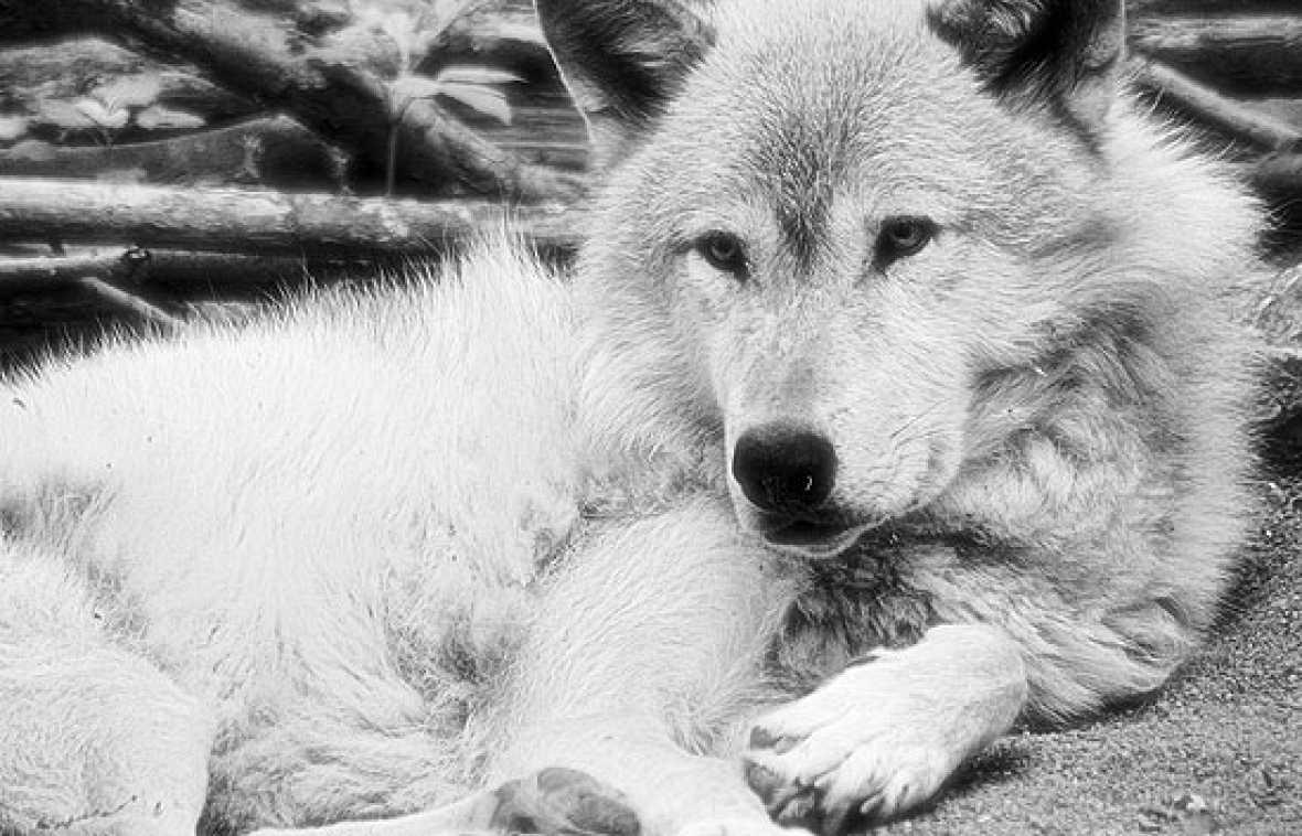 Félix Rodríguez de la Fuente ayudó a cambiar nuestra visión de los lobos