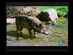 Terra Verda - Os i llop