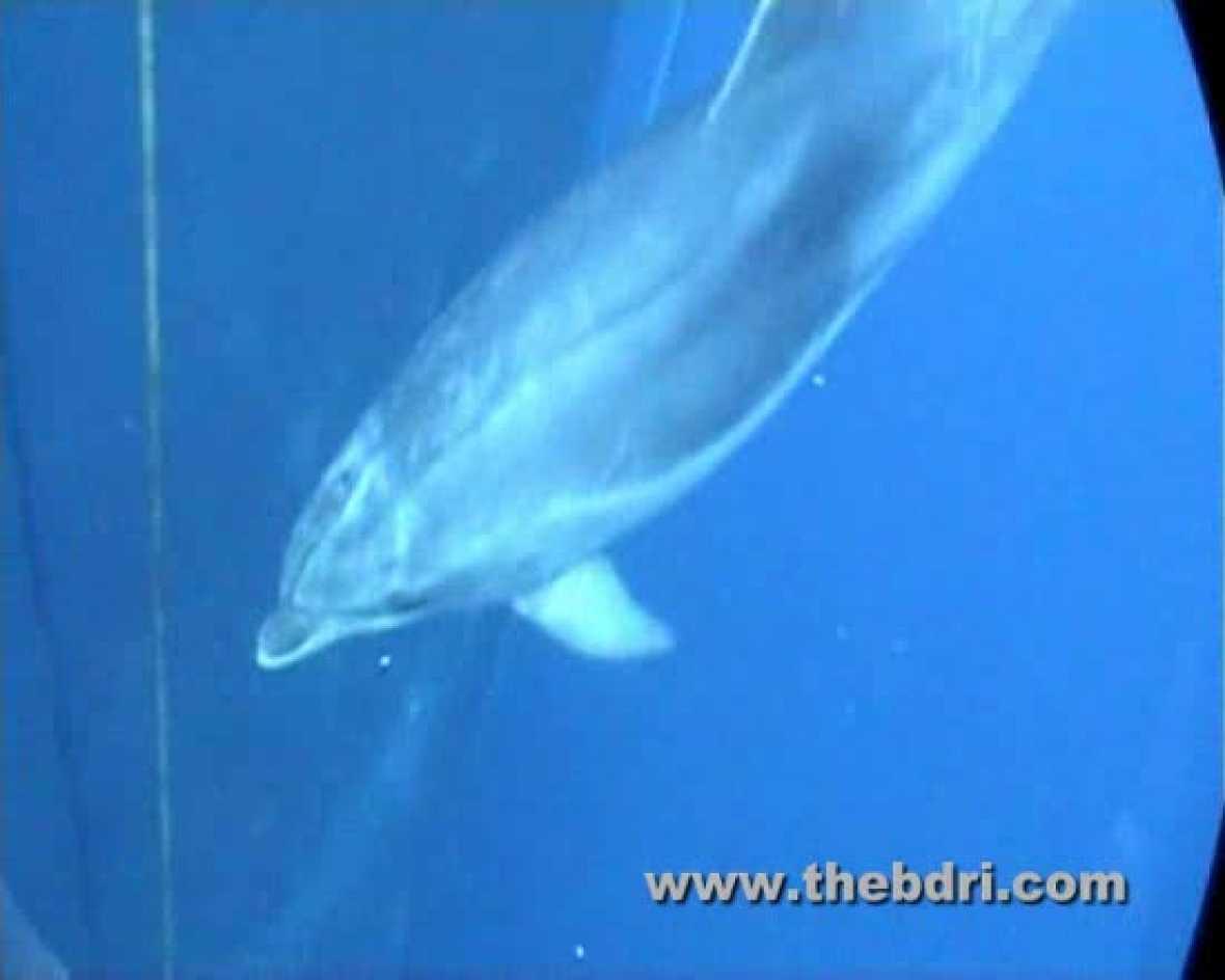Sonidos pulsátiles de los delfines para evitar agresiones físicas