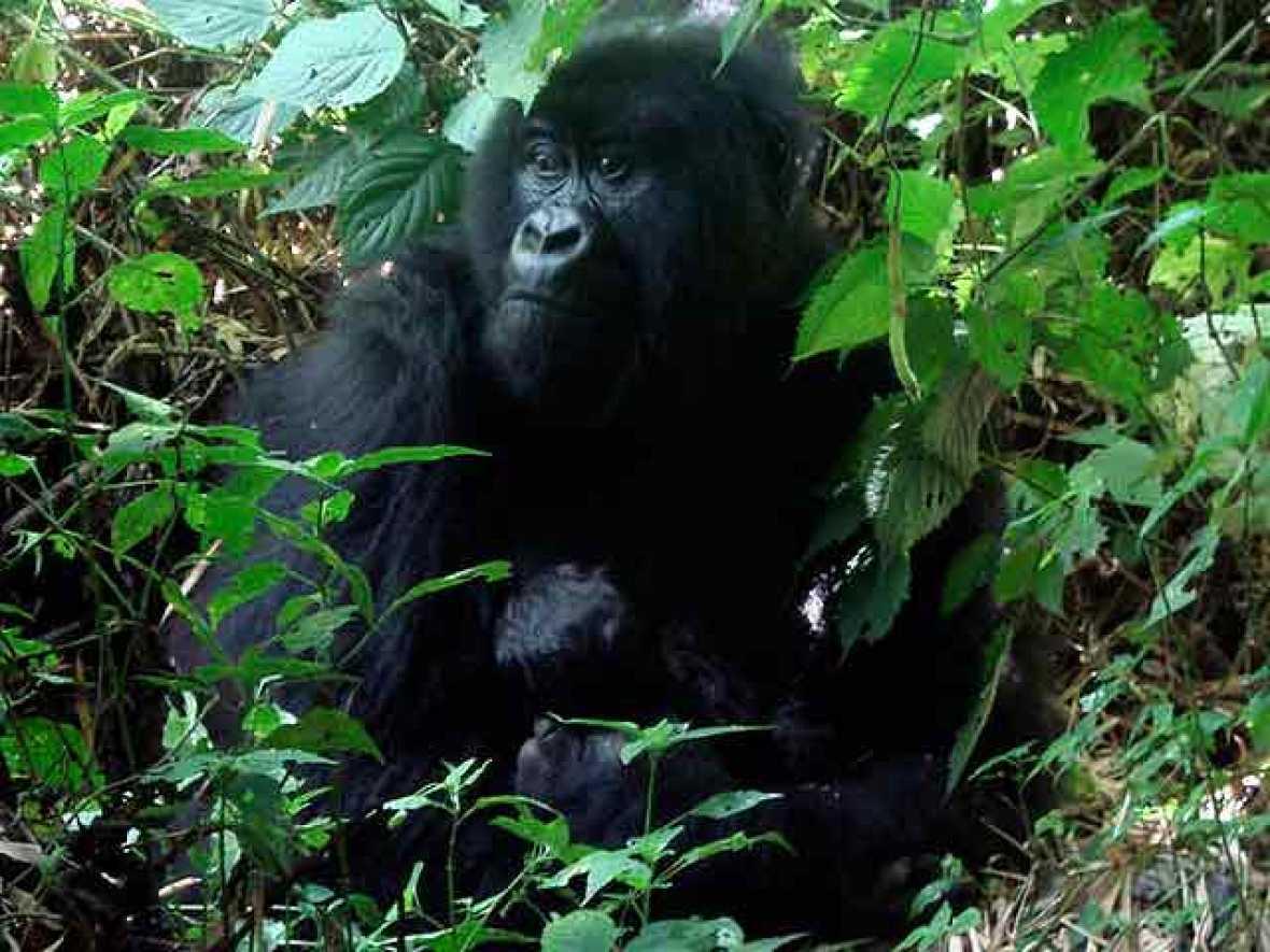Dos gorilas (padre e hijo) jugando al 'tú la llevas'
