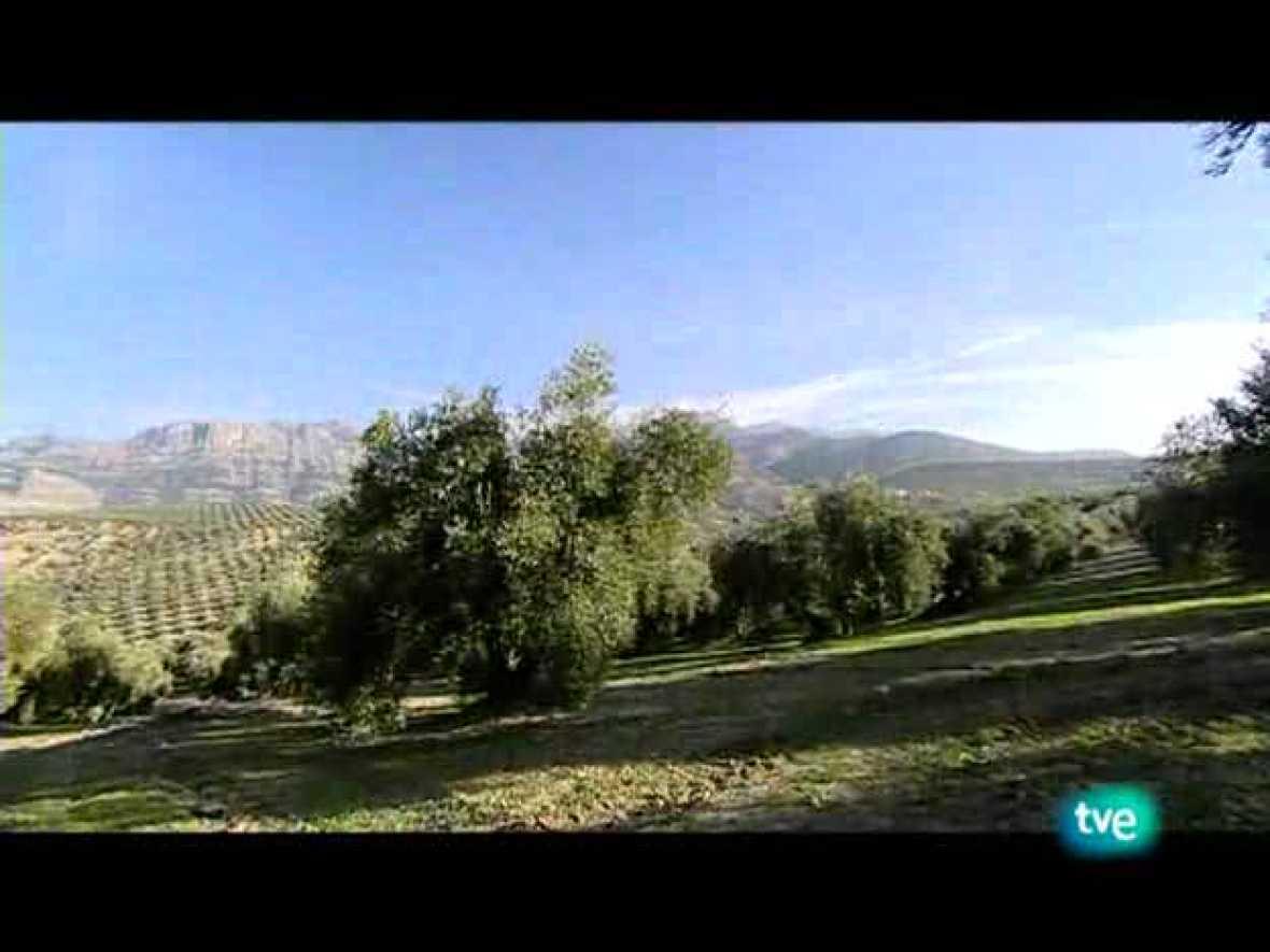 La dieta mediterránea - El aceite de oliva - Ver ahora