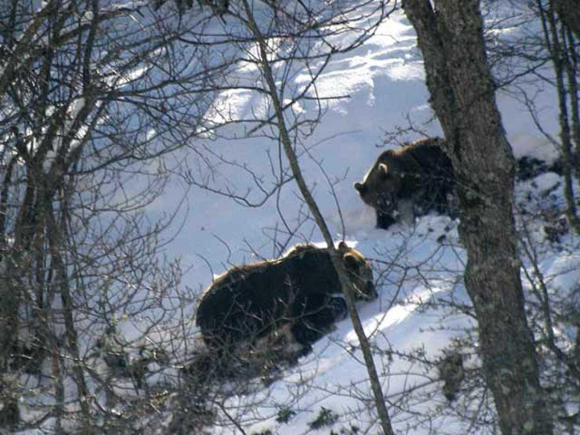 Los hembras de oso pardo y sus crías, menores de dos años, no hibernan